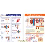 The Excretory System Visual Learning Guide