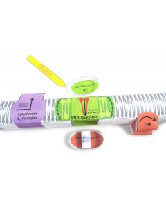 Photosynthesis Light Reactions 3-D Model Making Kit