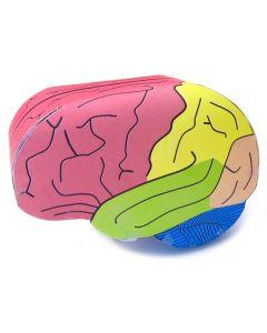 Human Brain 3-D Model Making Kit