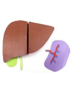 Liver and Spleen 3-D Model Making Kit