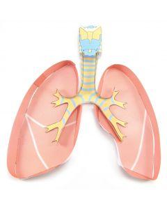 Lungs 3-D Model Making Kit