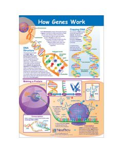 How Genes Work Poster, Laminated